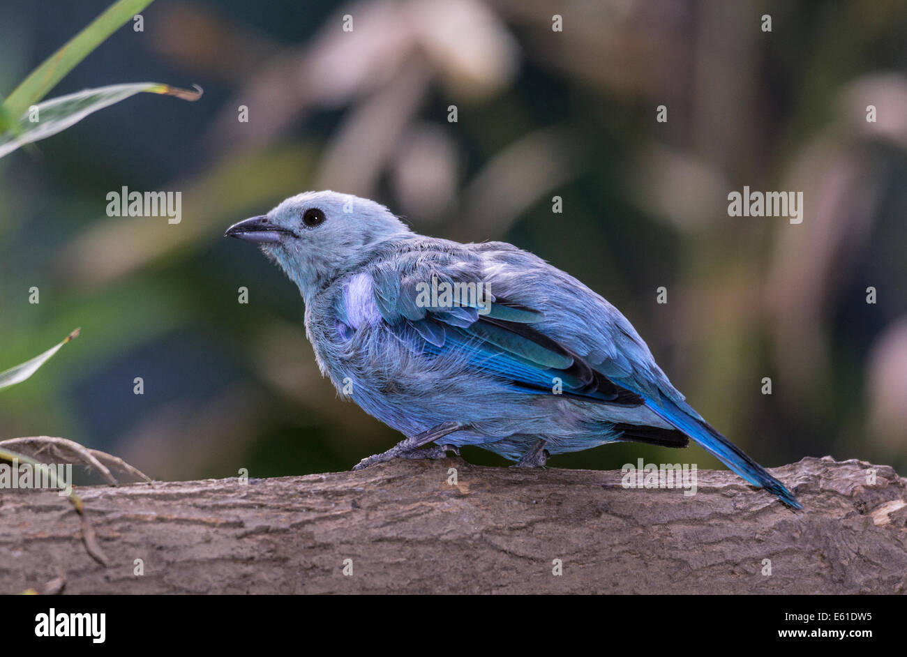Blue-gray Tanager of South America - Stock Image