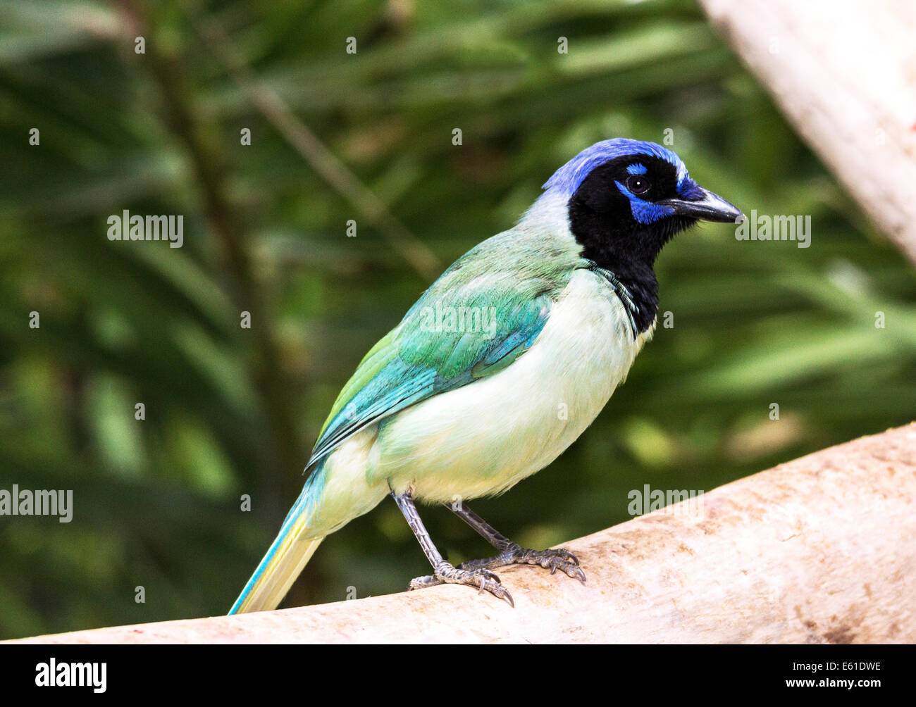 Adult Inca or Green Jay in outdoor aviary in South-west France - Stock Image