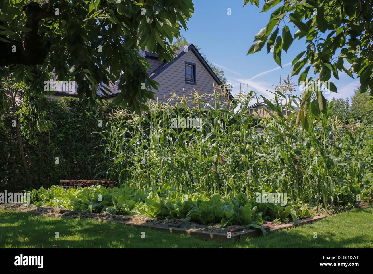 growing corn backyard vegetable garden - Stock Image