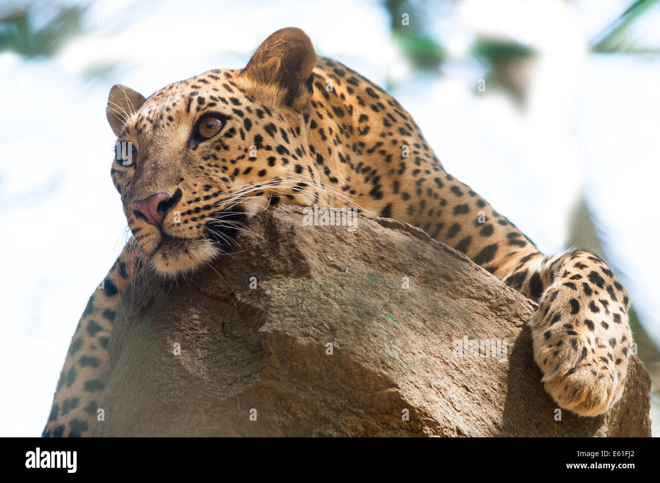 Indian Leopard Stock Photo