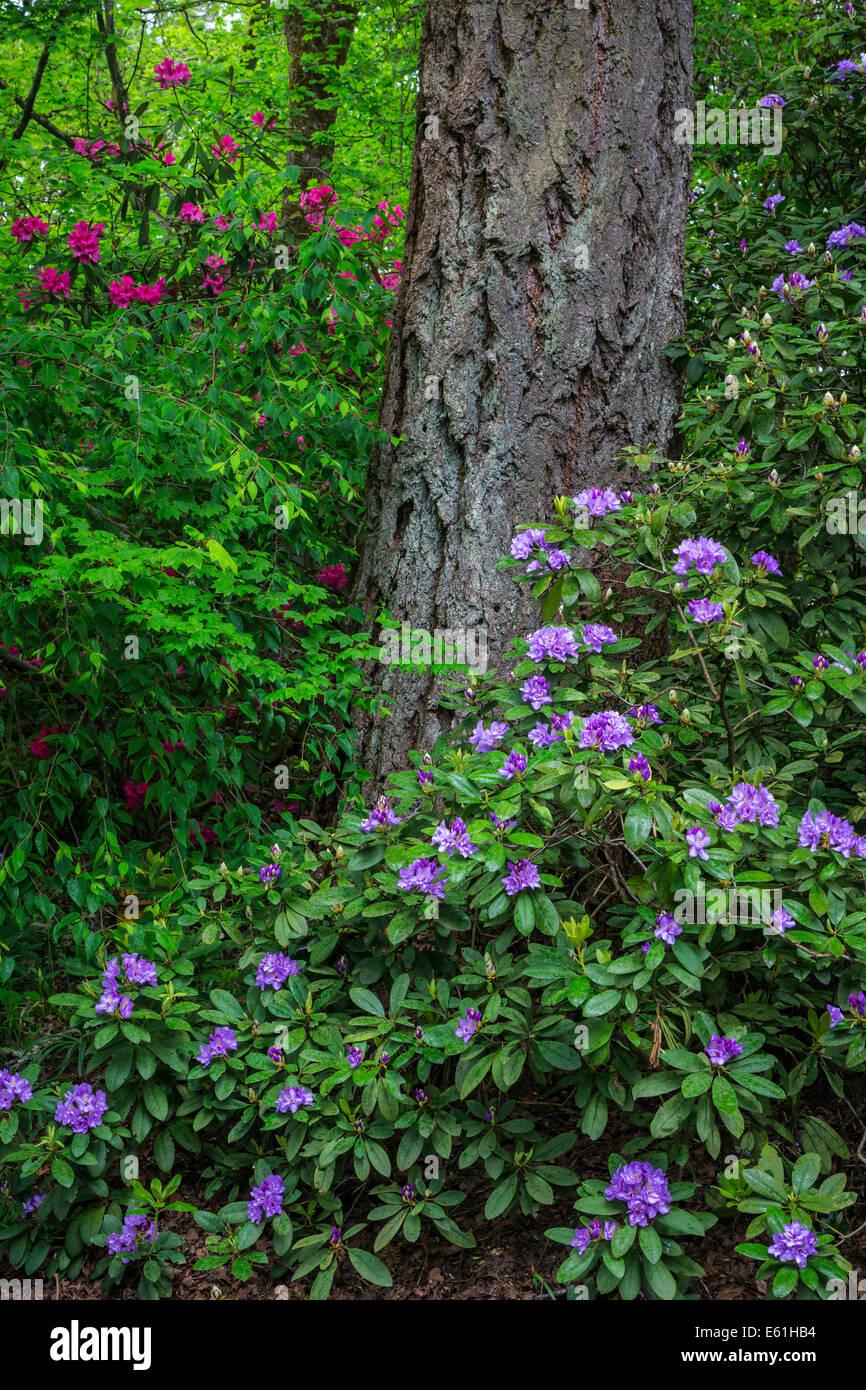 Hendrick's Park Rhododendron Gardens in Eugene, Oregon, USA. Stock Photo