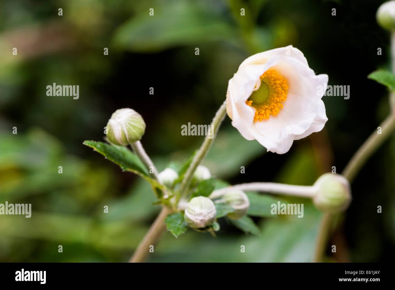Japanese White Flower Stock Photos Japanese White Flower Stock