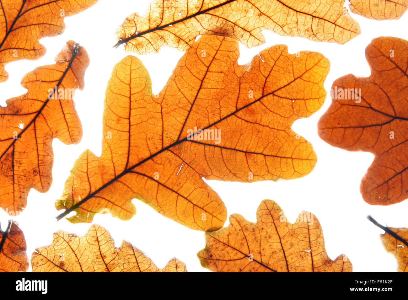 Lots of dry oak leaves isolated over white background Stock Photo