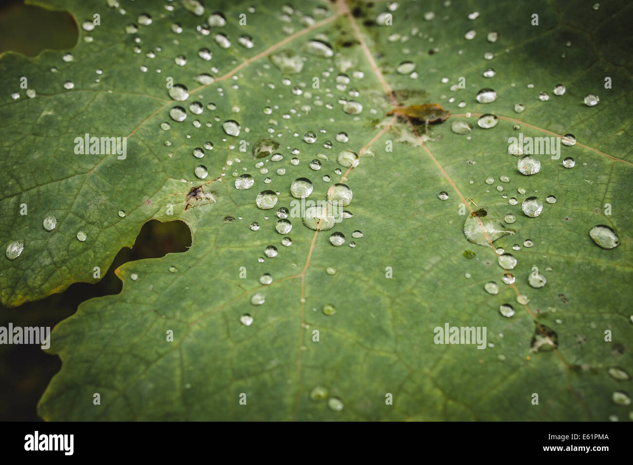 Dewdrops on early morning leaves - Stock Image