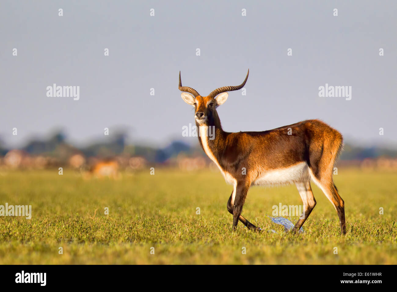 Bangweulu, Zambia, is the only place to see Black lechwe (Kobus leche smithemani) - Stock Image