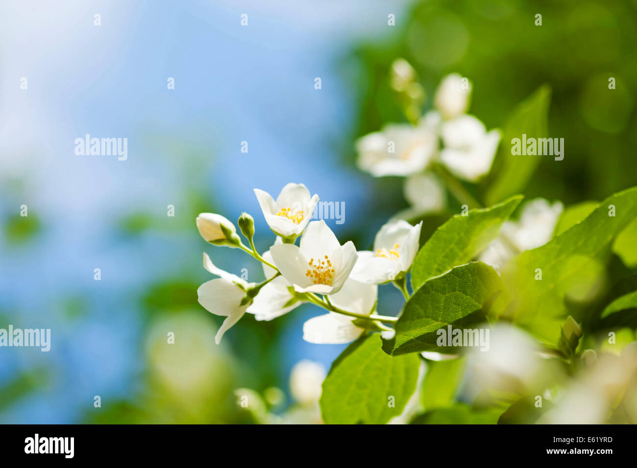 Beautiful fresh jasmine flowers in the garden, macro photography - Stock Image