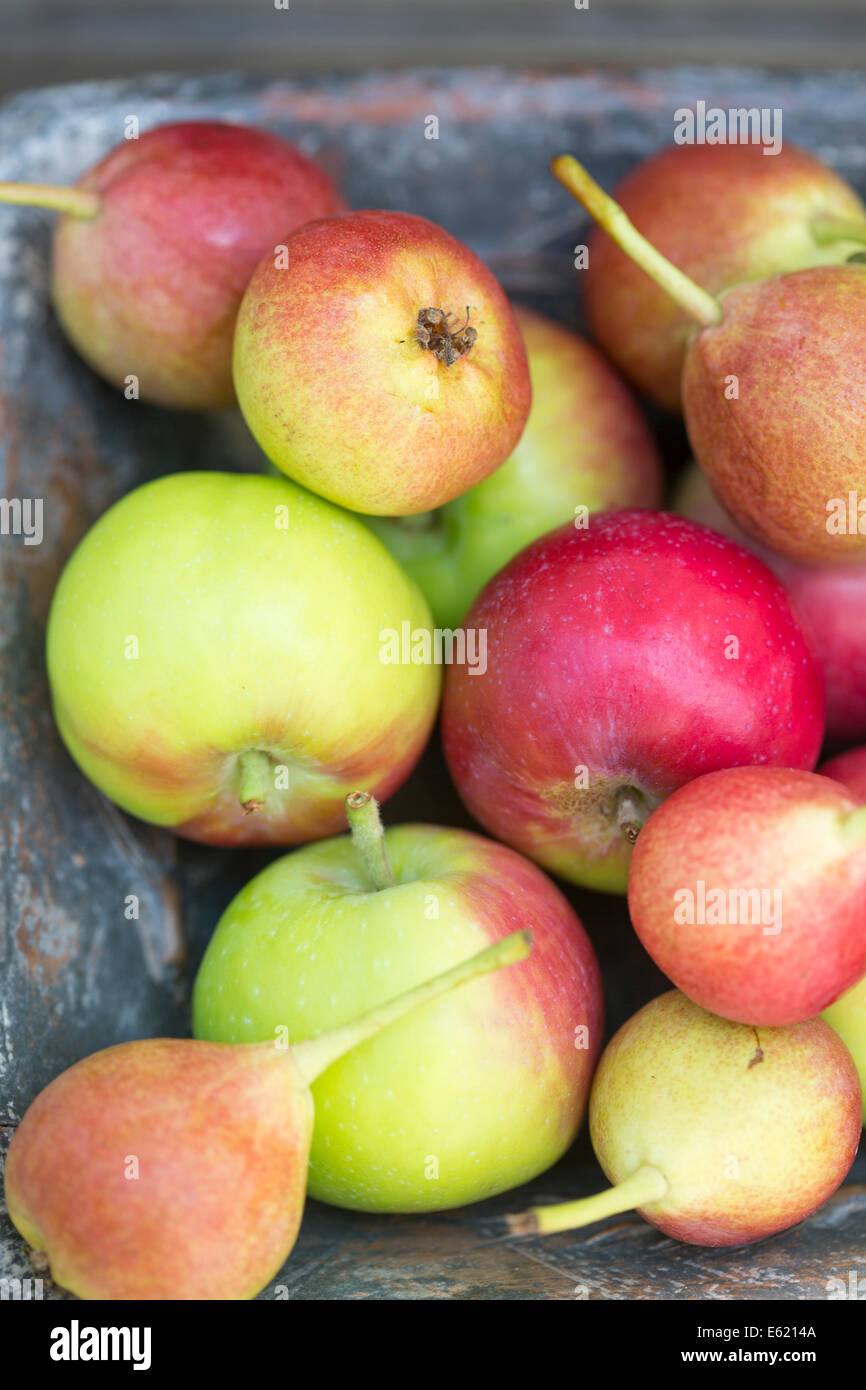 juicy red and green pears and apples in rustic blue dish against outside wooden bench - Stock Image