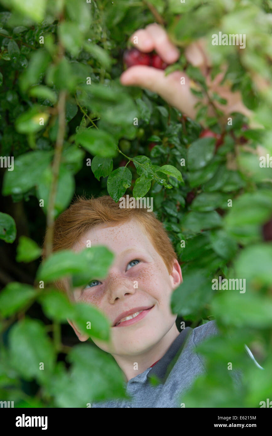 A ten year old by picking plums from a tree. - Stock Image