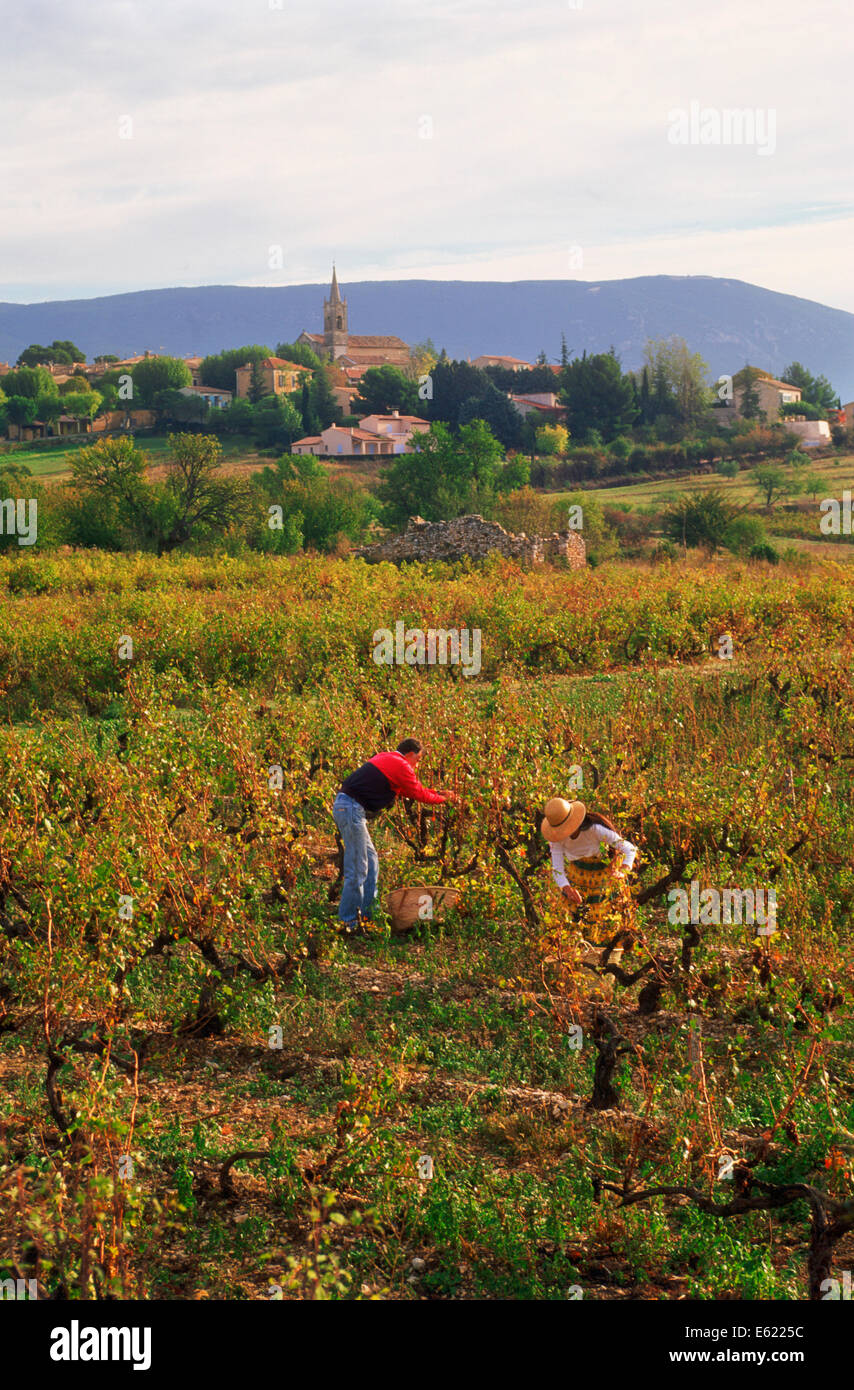 Man and woman collecting grapes in small vineyard below the village of Villars in Provence, France Stock Photo