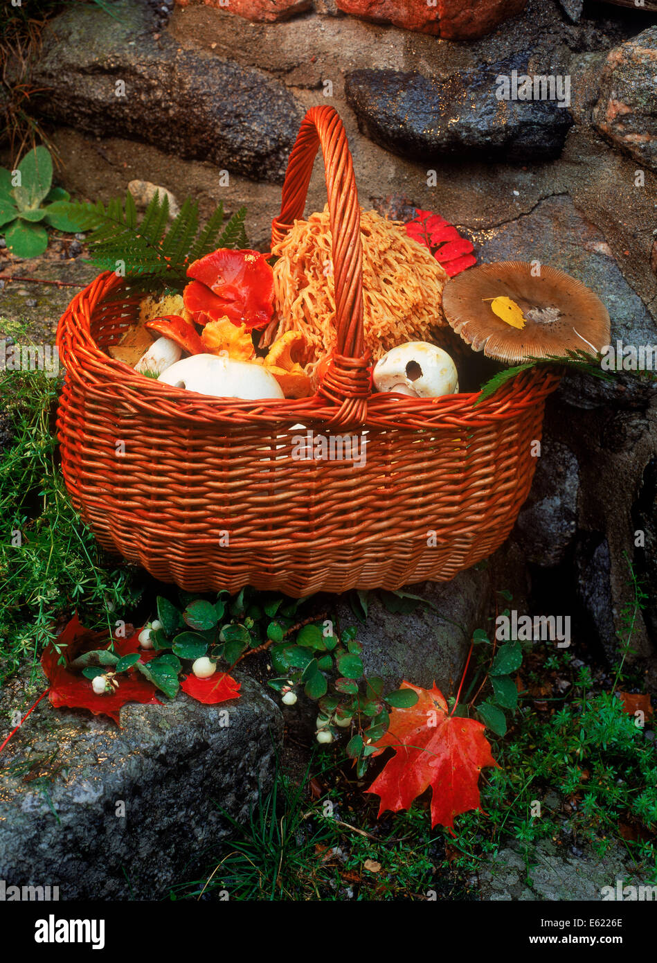 Basket of freshly picked mushrooms and fungi in Sweden - Stock Image
