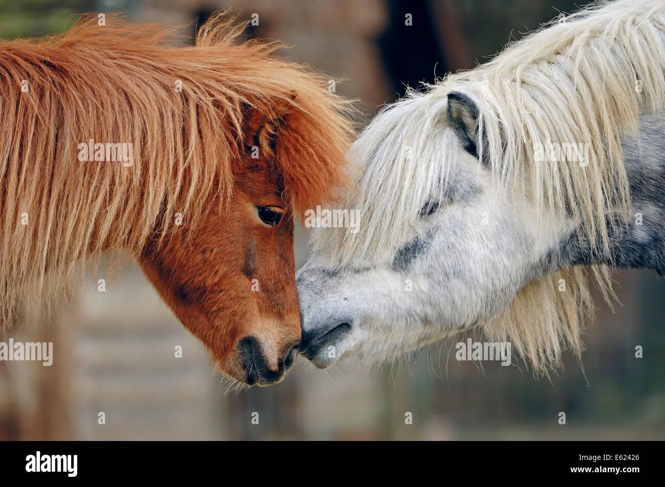Shetland Pony (Equus ferus caballus), North Rhine-Westphalia, Germany - Stock Image