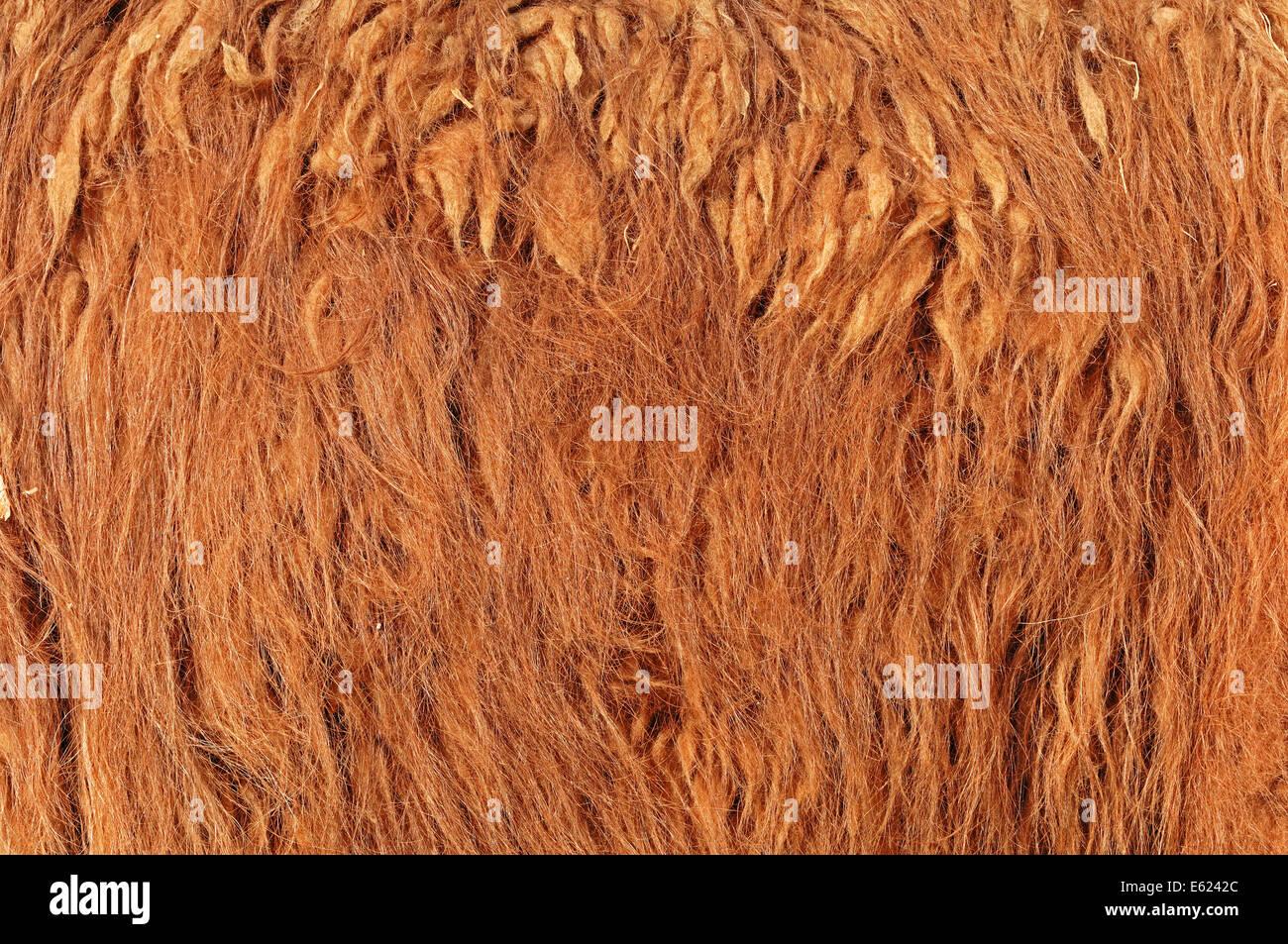 Alpaca (Lama pacos), coat detail - Stock Image