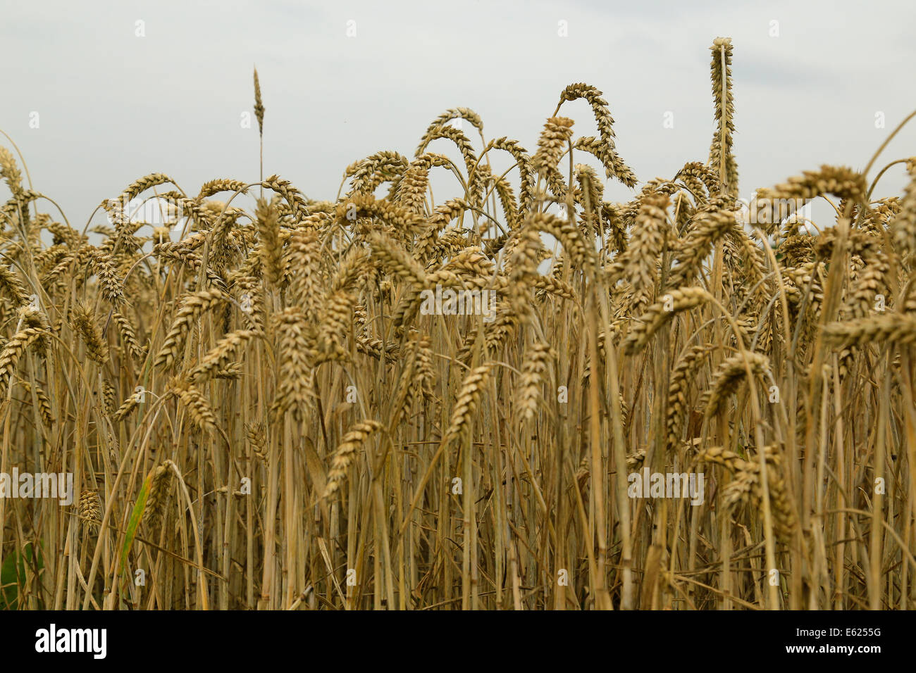 Wheat field close up - Stock Image