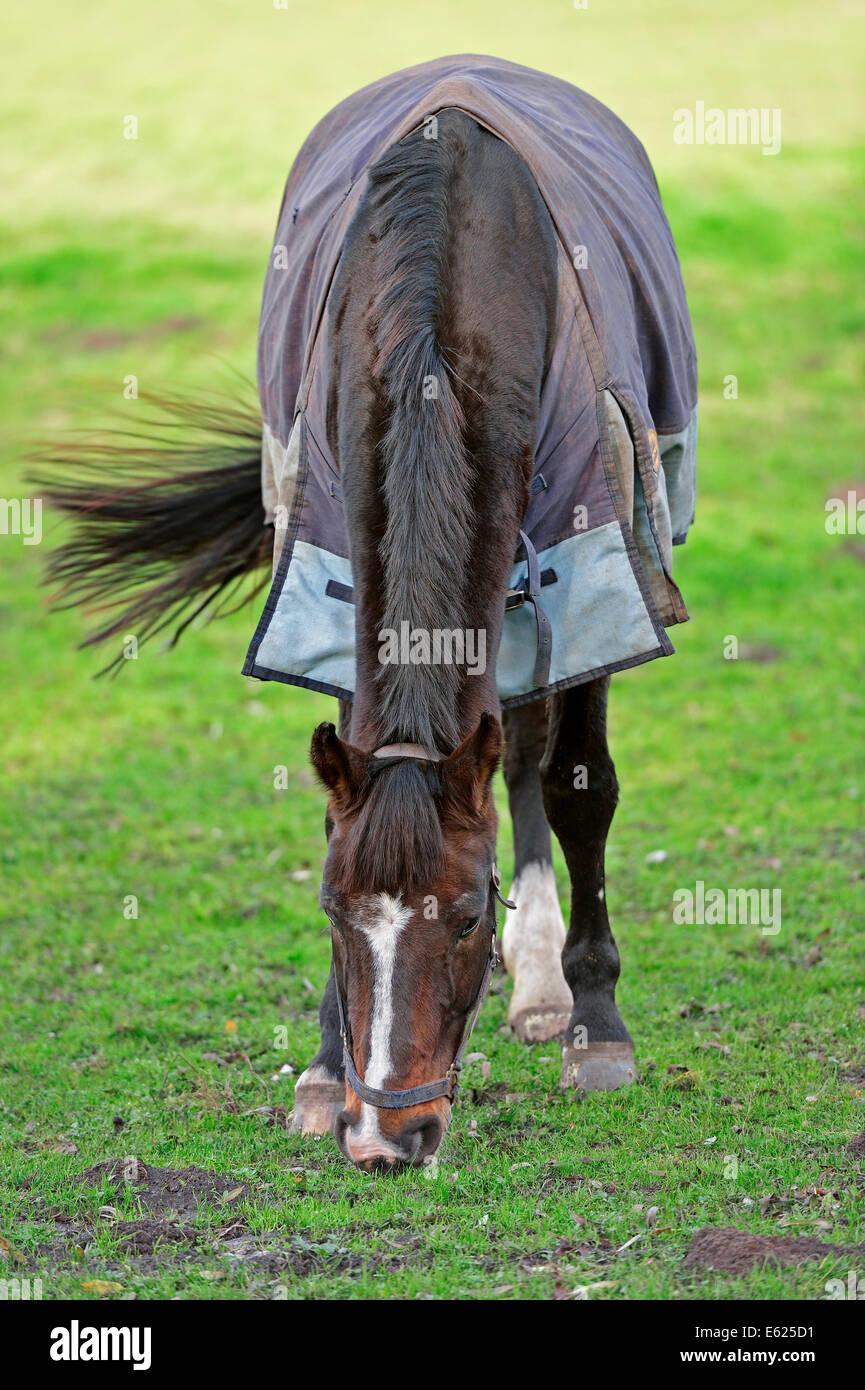Westphalian Horse or Westfalen (Equus ferus caballus), North Rhine-Westphalia, Germany - Stock Image