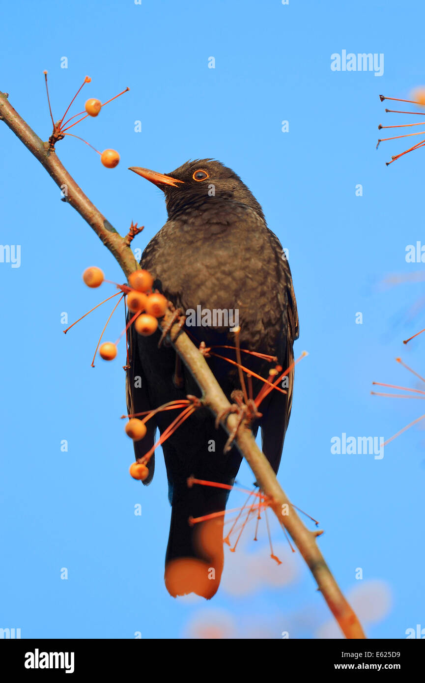Common Blackbird or Eurasian Blackbird (Turdus merula), male, North Rhine-Westphalia, Germany - Stock Image