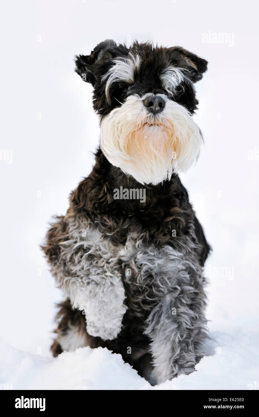 Miniature Schnauzer, black-silver (Canis lupus familiaris), sitting in snow, North Rhine-Westphalia, Germany - Stock Image