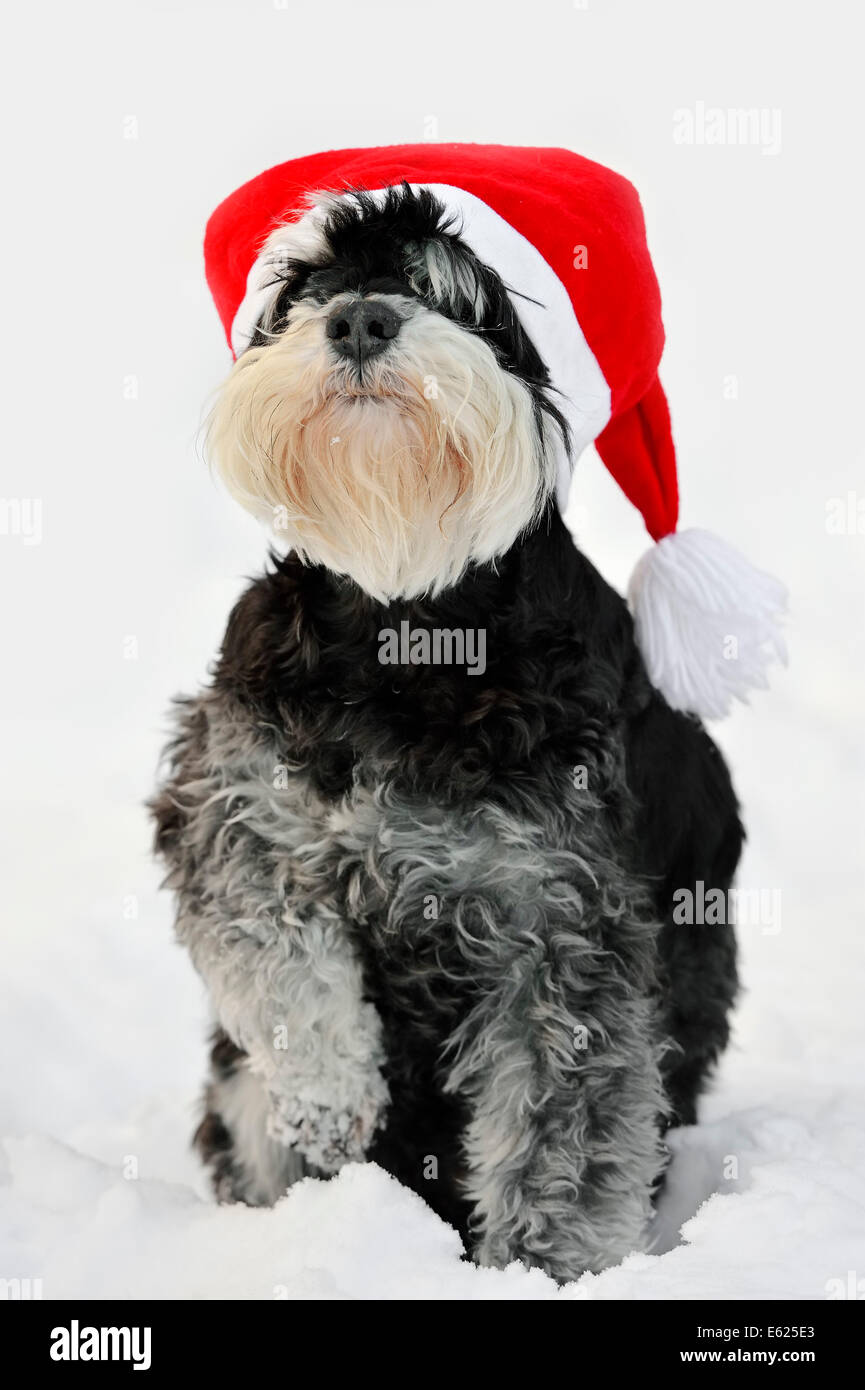 Miniature Schnauzer, black-silver (Canis lupus familiaris), with christmas cap in snow, North Rhine-Westphalia, - Stock Image