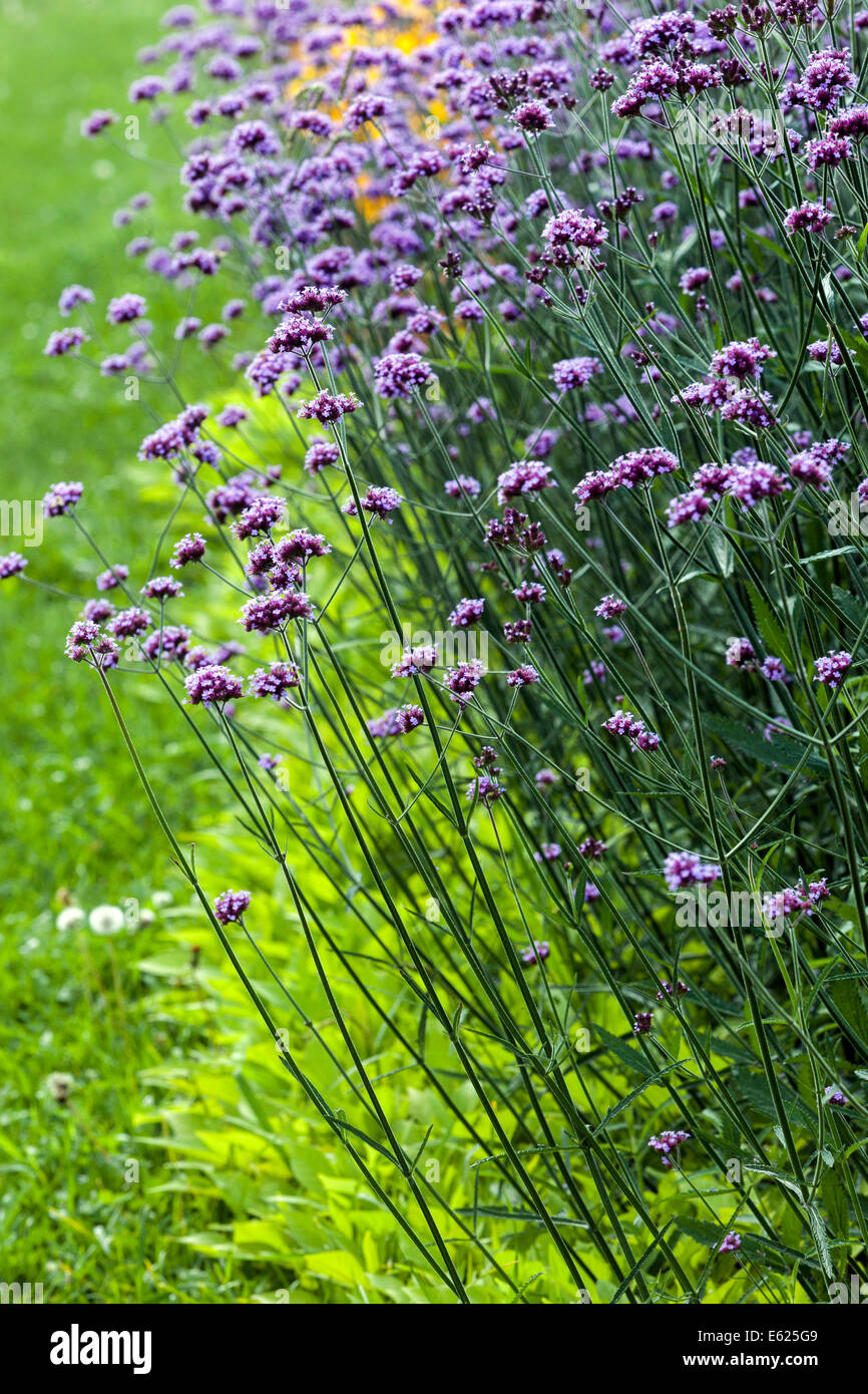 Colorful flower bed of annual flowers verbena bonariensis stock colorful flower bed of annual flowers verbena bonariensis izmirmasajfo Image collections