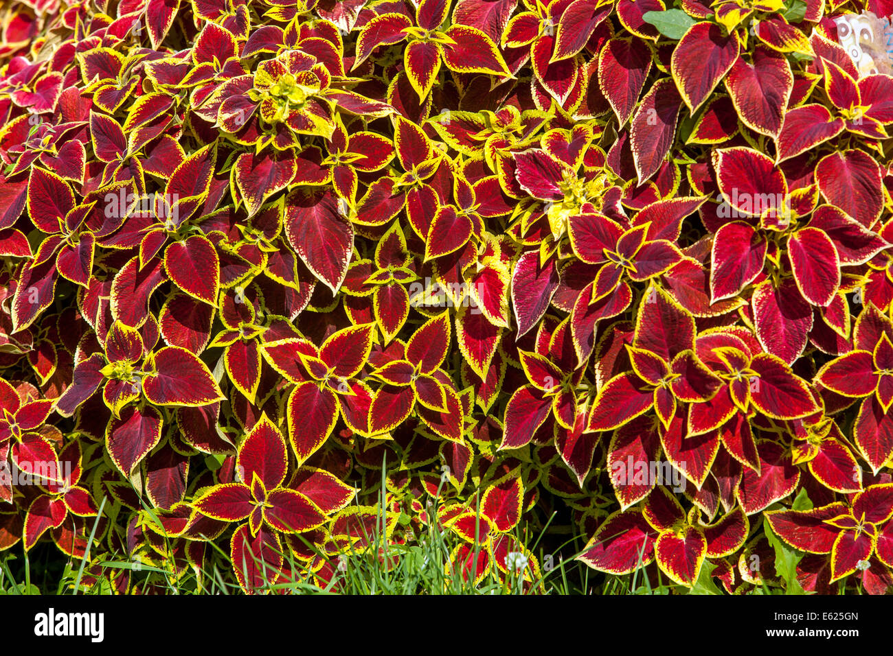 Coleus annual stock photos coleus annual stock images alamy colorful flower bed of annual flowers coleus blumel wizard scarlet stock image izmirmasajfo