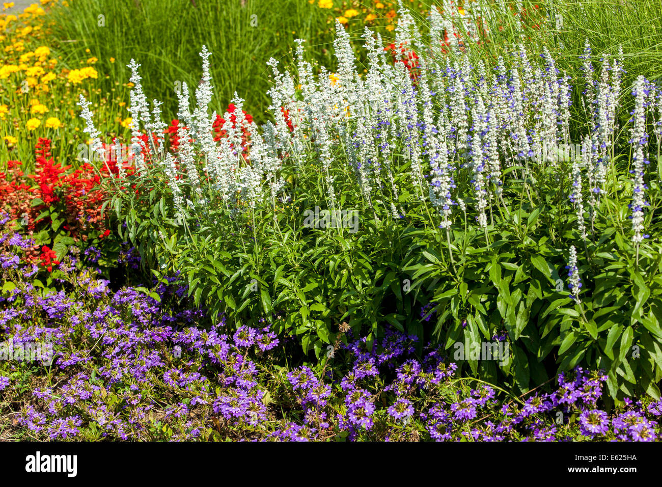 Scaevola flower stock photos scaevola flower stock images alamy colorful flower bed of annual flowers salvia scaevola stock image izmirmasajfo