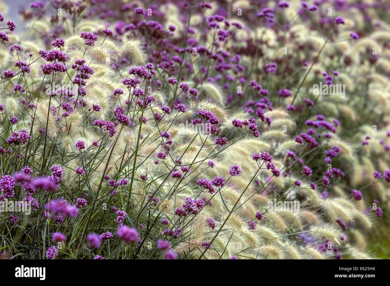 Цвет вербена фото
