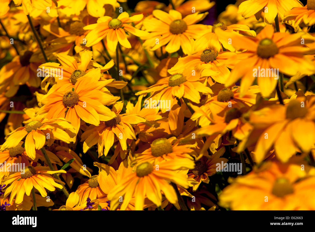 Annual flowers flower bed stock photos annual flowers flower bed colorful flower bed of annual flowers rudbeckia hirta stock image izmirmasajfo