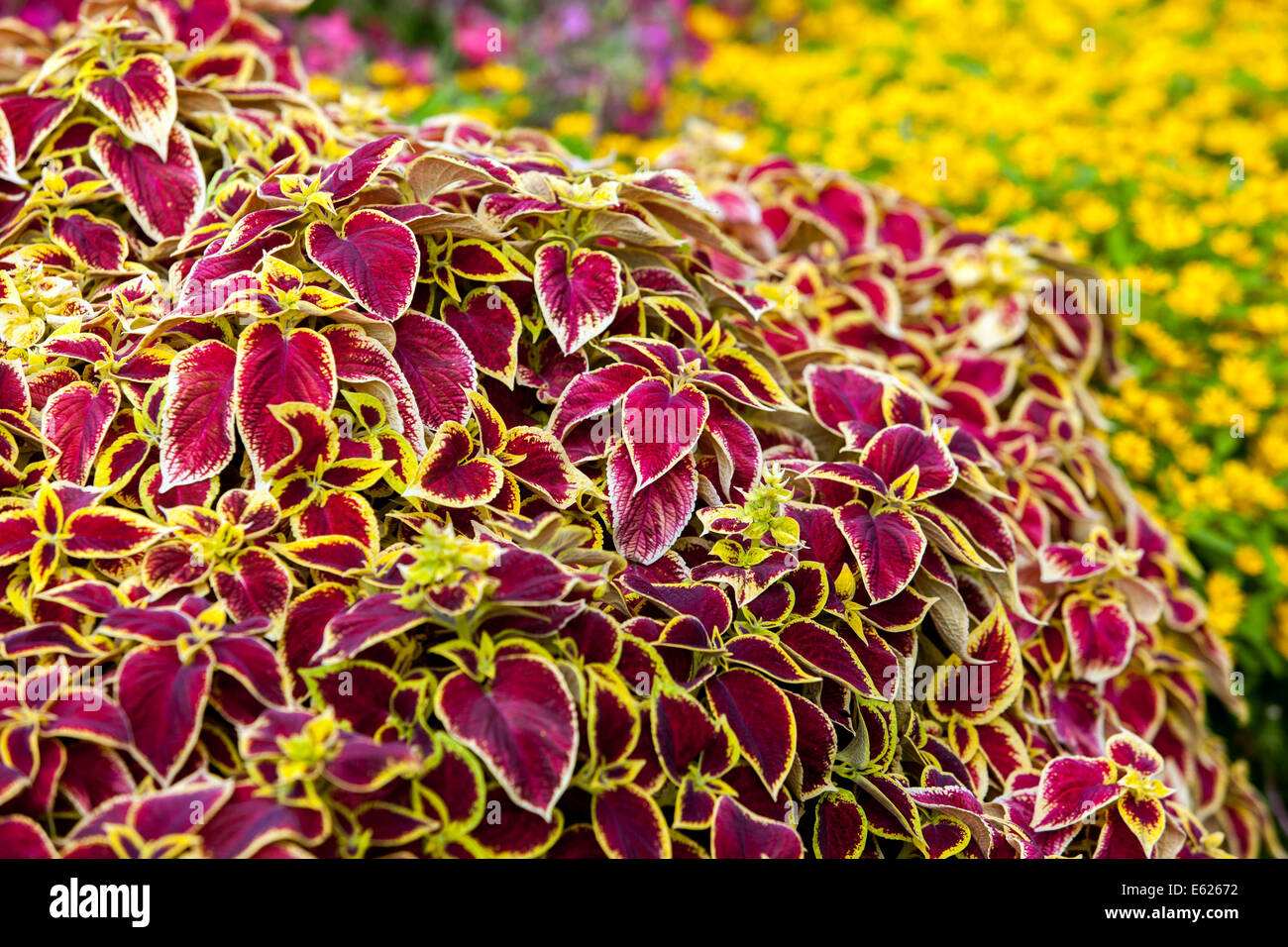 Colorful flower bed of annual flowers coleus blumel wizard scarlet colorful flower bed of annual flowers coleus blumel wizard scarlet izmirmasajfo