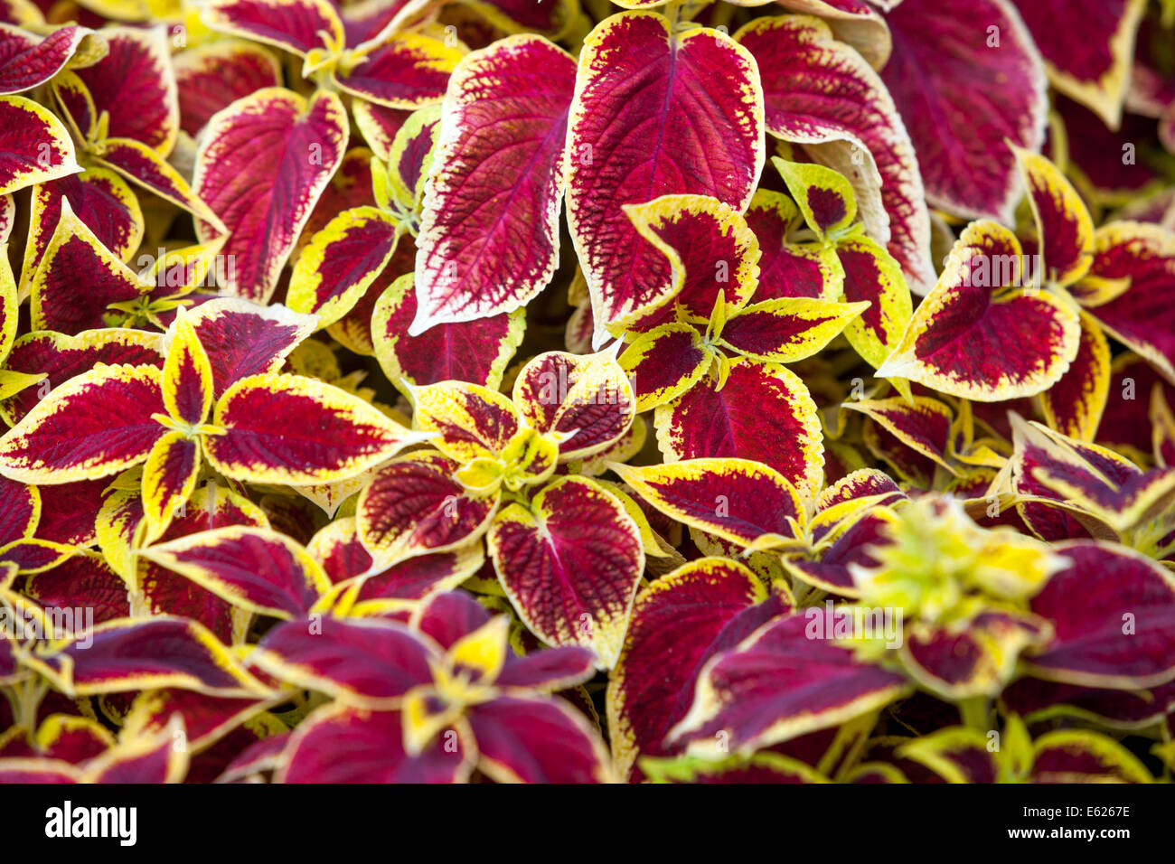 Coleus flower stock photos coleus flower stock images alamy colorful flower bed of annual flowers coleus blumel wizard scarlet stock image izmirmasajfo