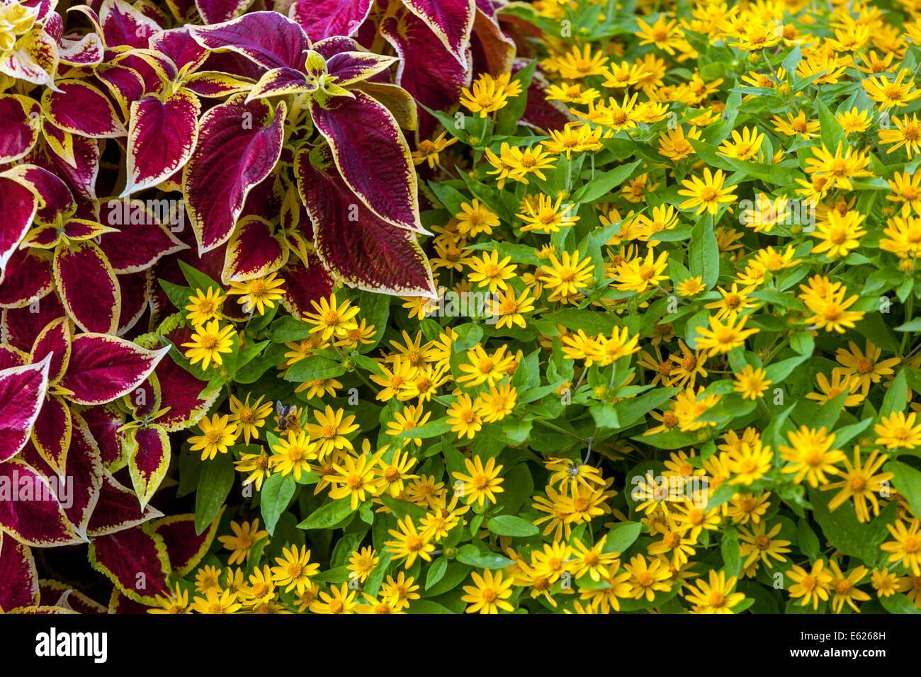 Melampodium stock photos melampodium stock images alamy colorful flower bed of annual flowers coleus blumel wizard scarlet melampodium izmirmasajfo Image collections
