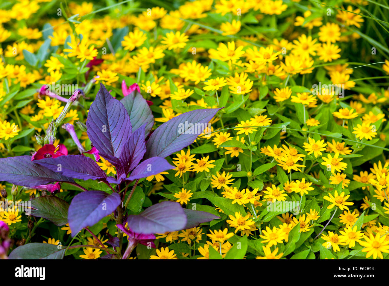 Coleus Annual Stock Photos Coleus Annual Stock Images Alamy