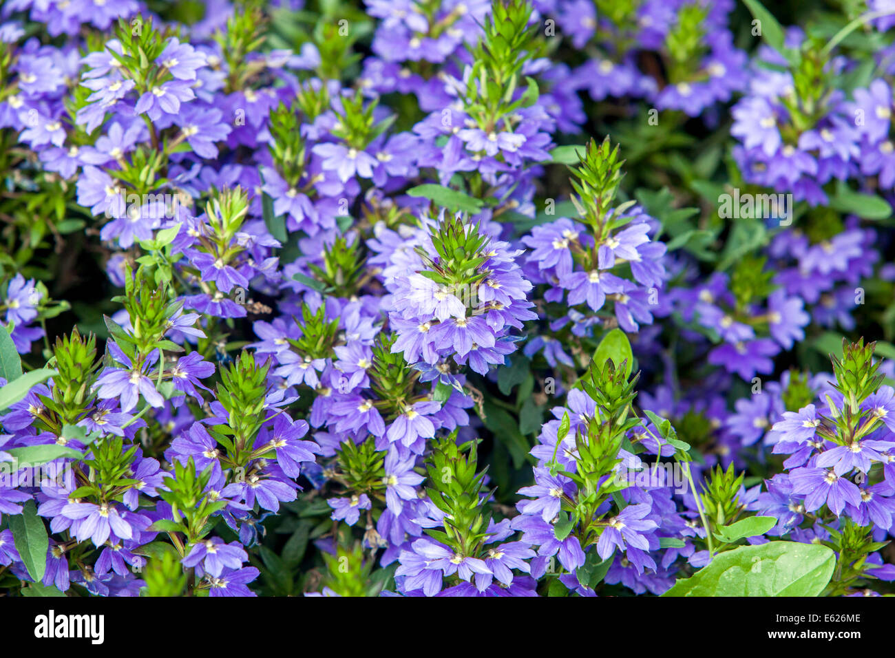 Variegated leaf leaves plant plants blue flower flowers stock photos colorful flower bed of annual flowers scaevola eamula stock image izmirmasajfo Image collections