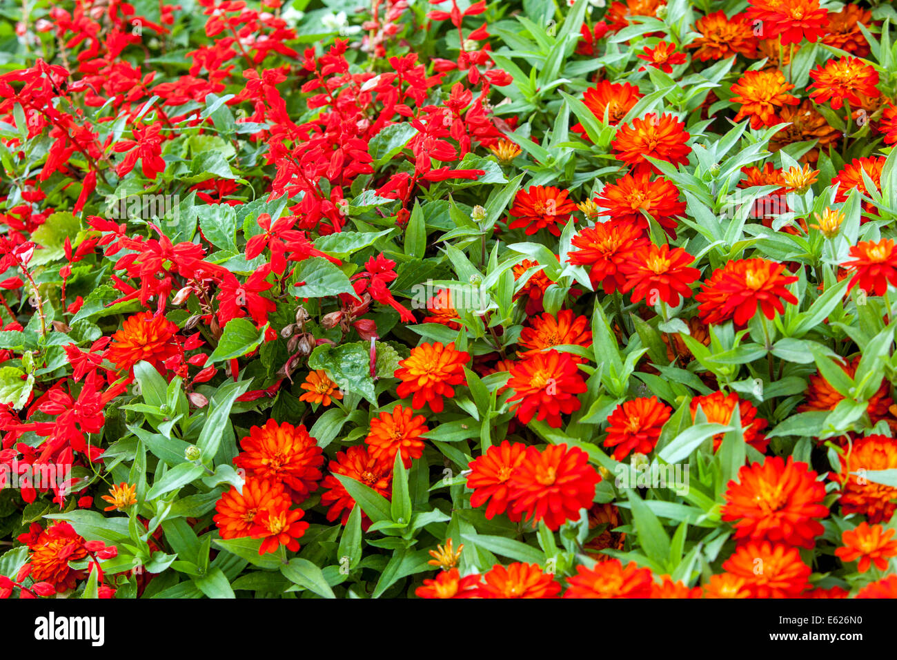 Red salvia flower stock photos red salvia flower stock images alamy colorful flower bed of annual flowers zinnia haageana stock image izmirmasajfo