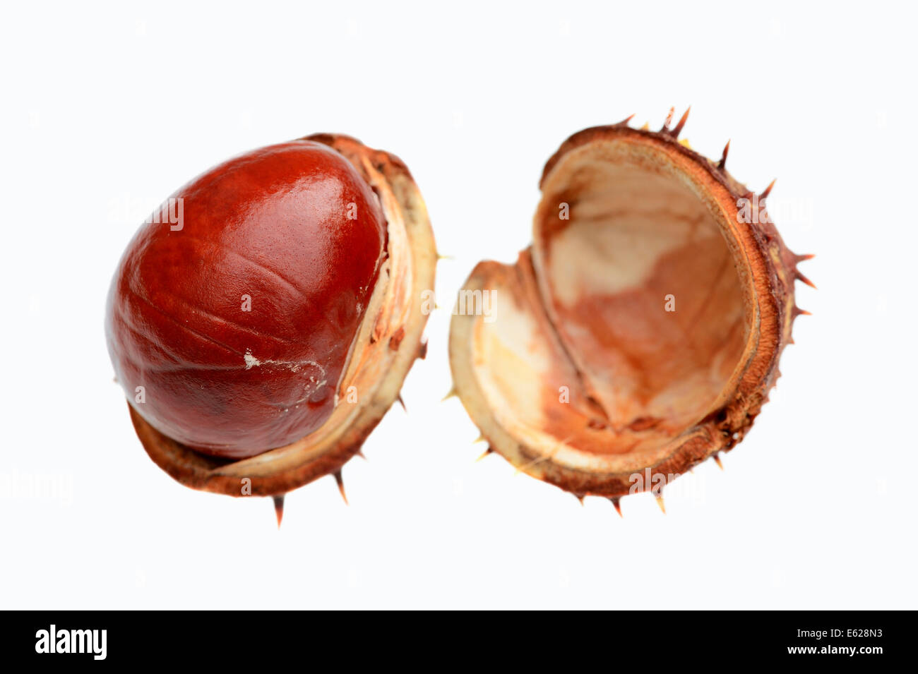 Horse Chestnut or Conker Tree (Aesculus hippocastanum), fruit - Stock Image