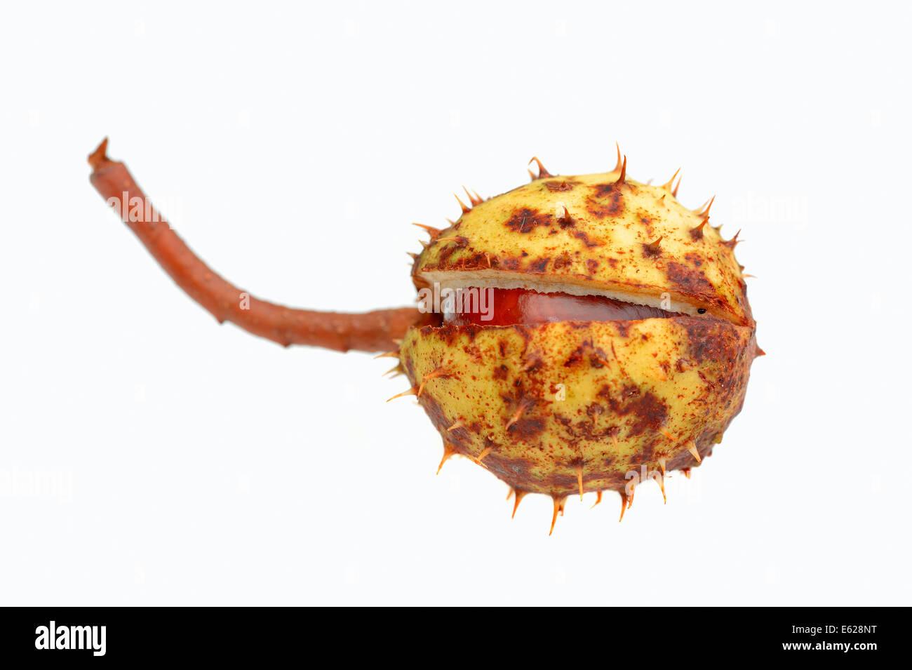 Horse Chestnut or Conker Tree (Aesculus hippocastanum), fruit - Stock Image