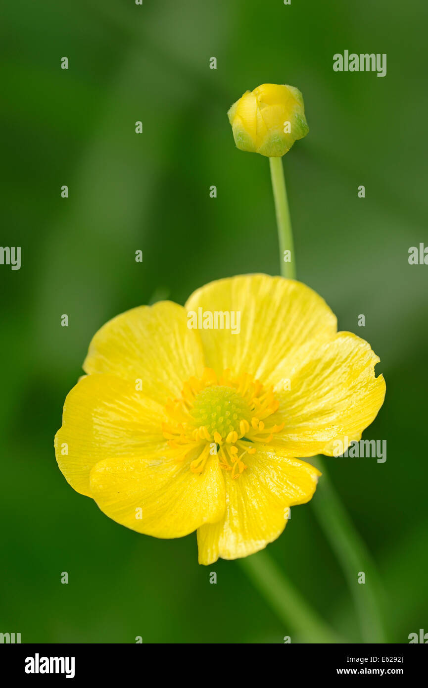 Greater Spearwort, Water Buttercup, Giant Spearwort or Great Spearwort (Ranunculus lingua), North Rhine-Westphalia, - Stock Image
