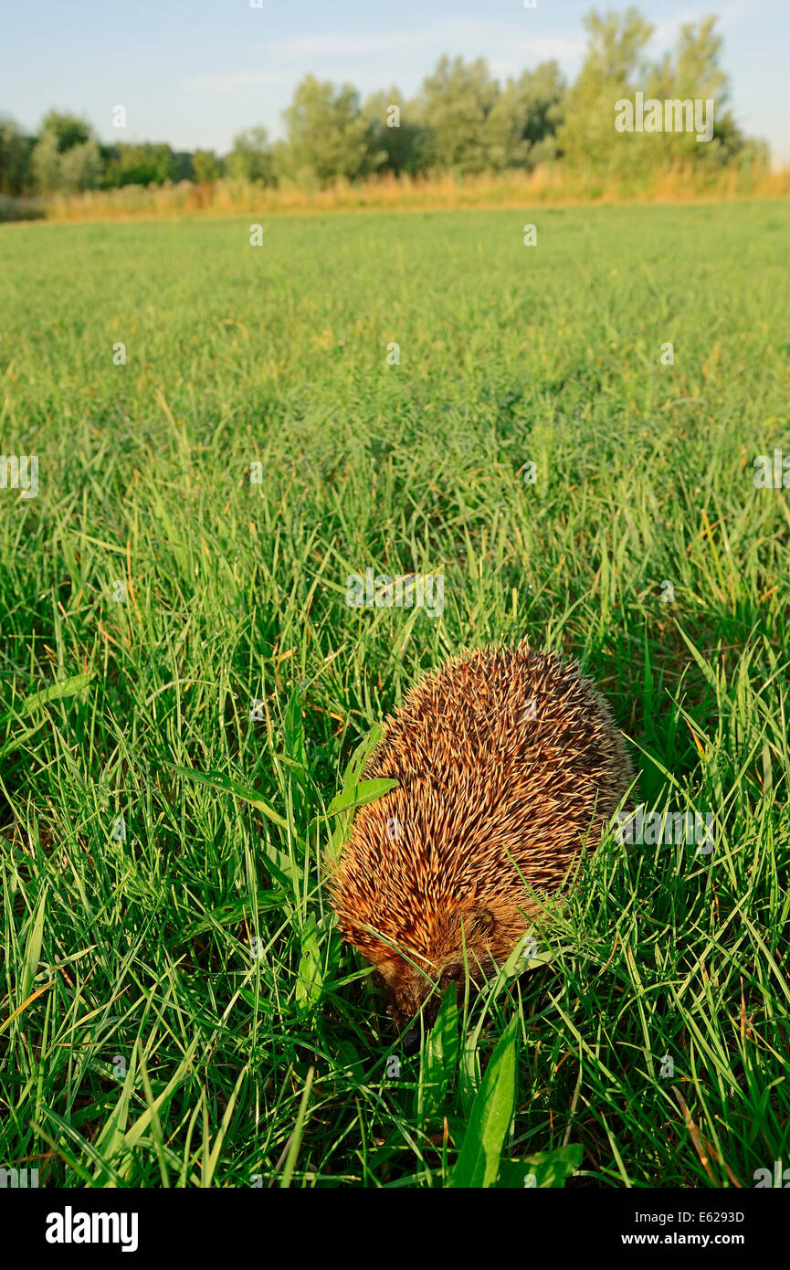 European Hedgehog or Common Hedgehog (Erinaceus europaeus), North Rhine-Westphalia, Germany - Stock Image