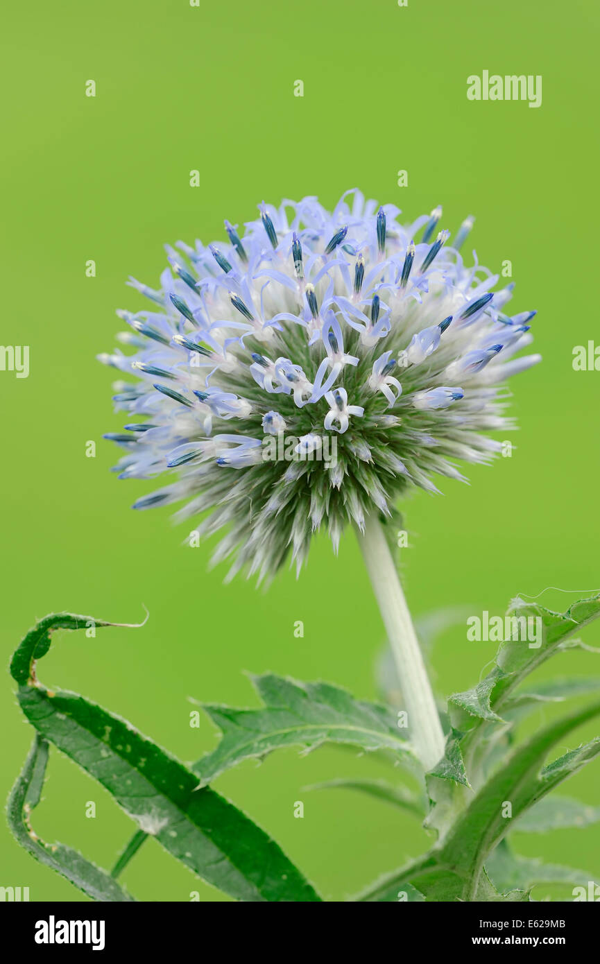 Small Globe Thistle or Southern Globe Thistle (Echinops ritro) - Stock Image