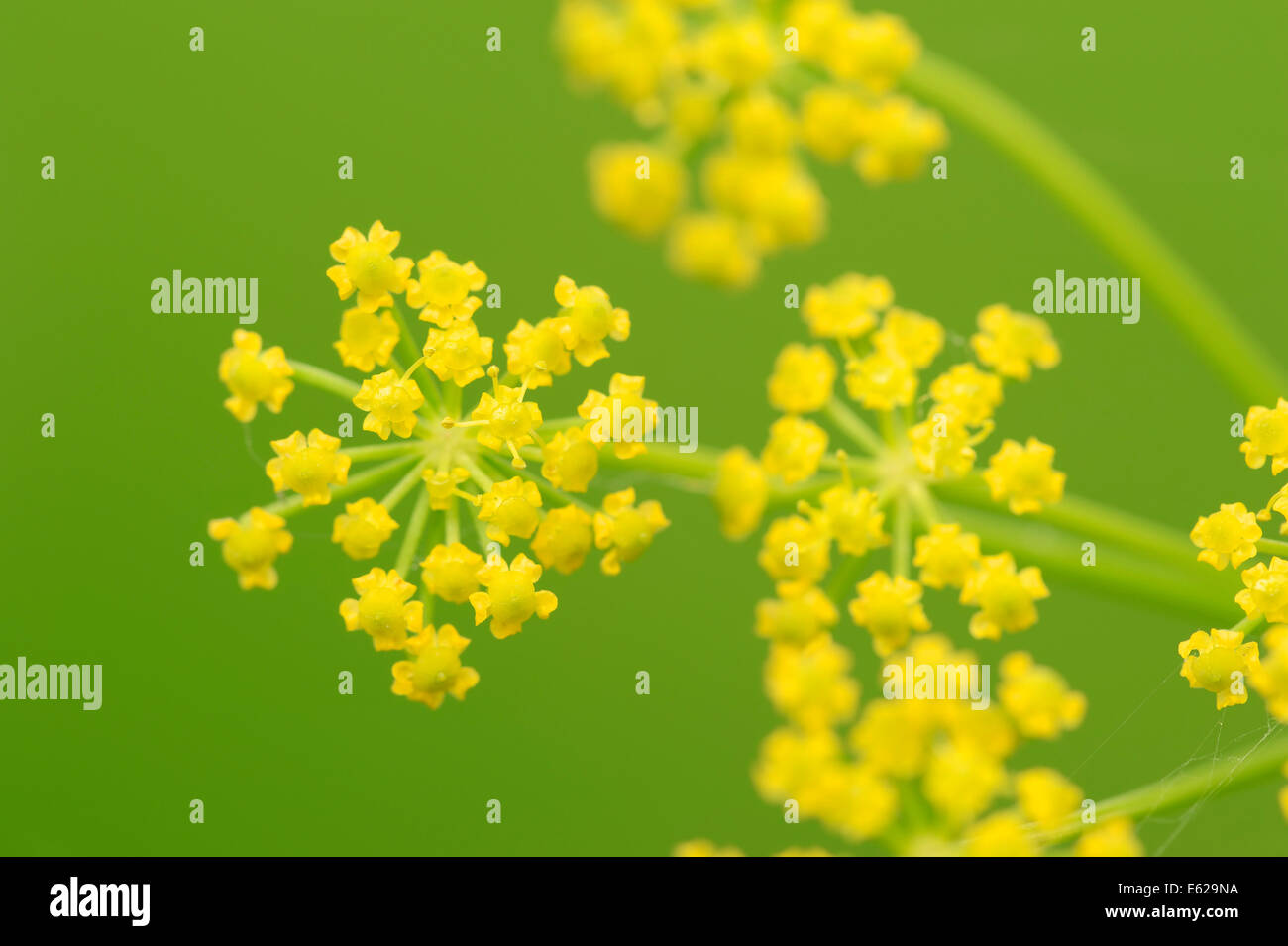 Wild Parsnip (Pastinaca sativa), North Rhine-Westphalia, Germany - Stock Image