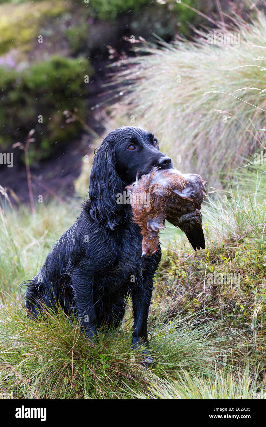 Rough shooting on Coverdale moors, Yorkshire Dales,  Gundog holding shot grouse in mouth during Grouse Shooting - Stock Image