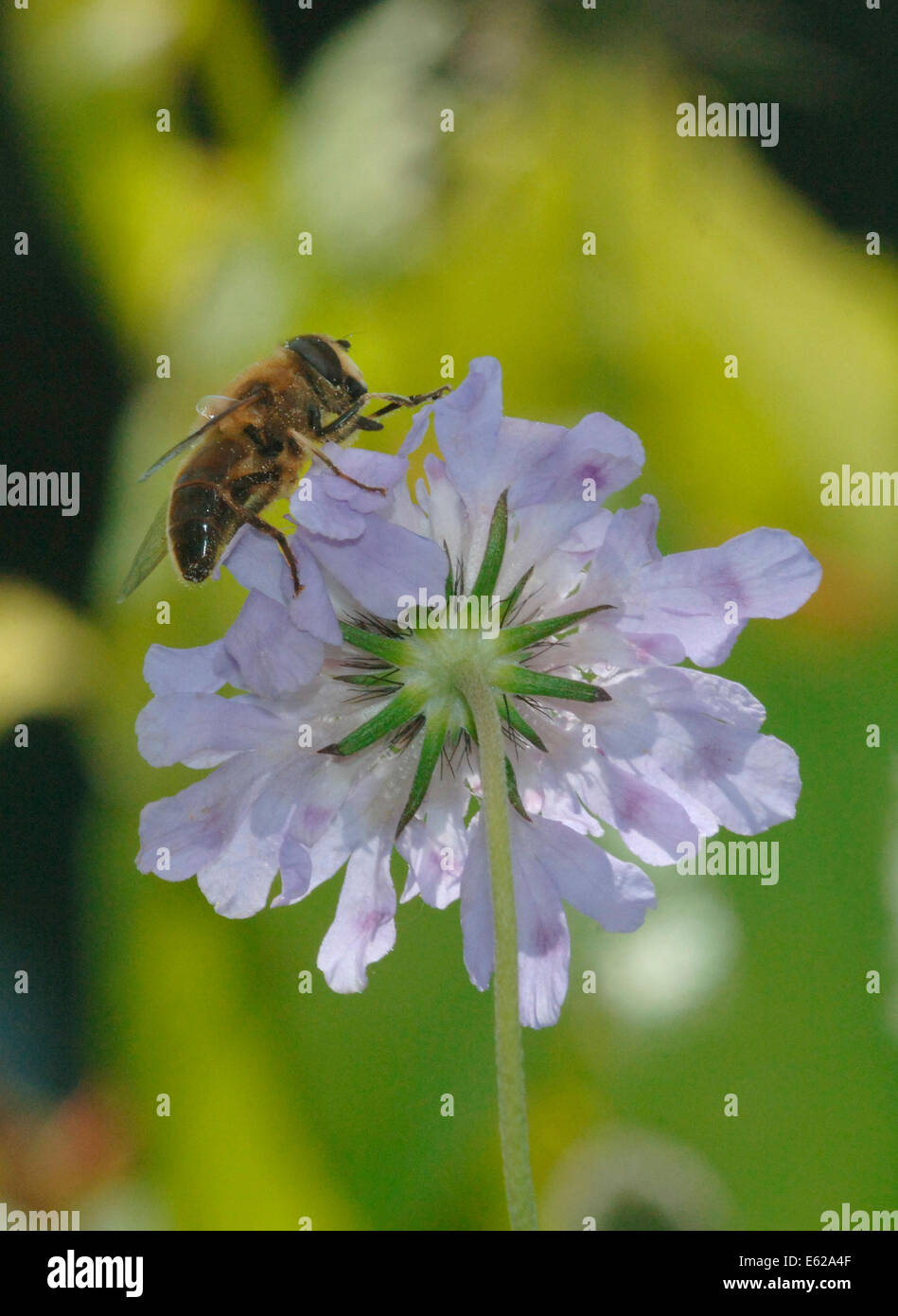 Drone-Fly (Eristalis tenax) On A Scabious Flower. - Stock Image