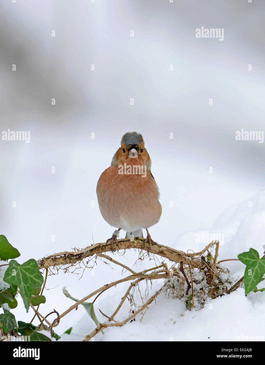 Chaffinch Fringilla coelebs in snow Norfolk winter - Stock Image