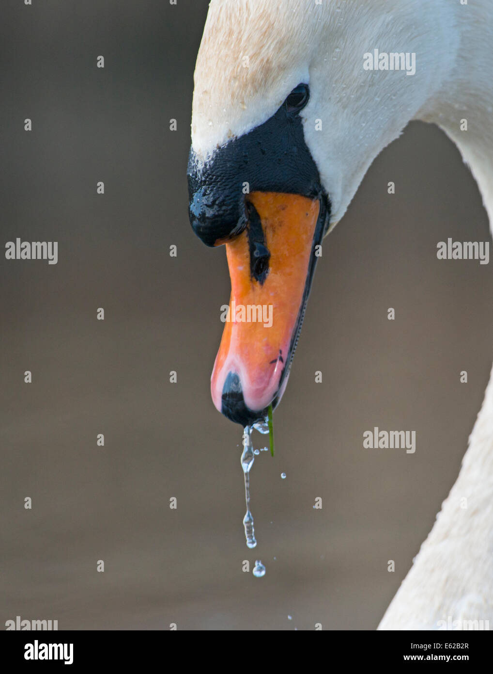 Mute Swan Cygnus olor Lake Geneva Switzerland - Stock Image