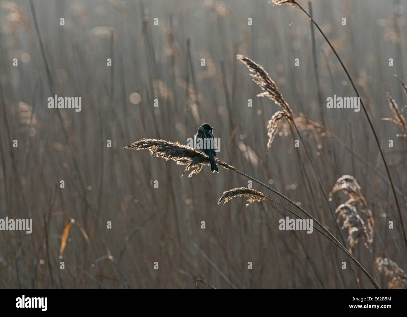 Reed Bunting Emberiza schoeniclus male in song Cley Norfolk March - Stock Image