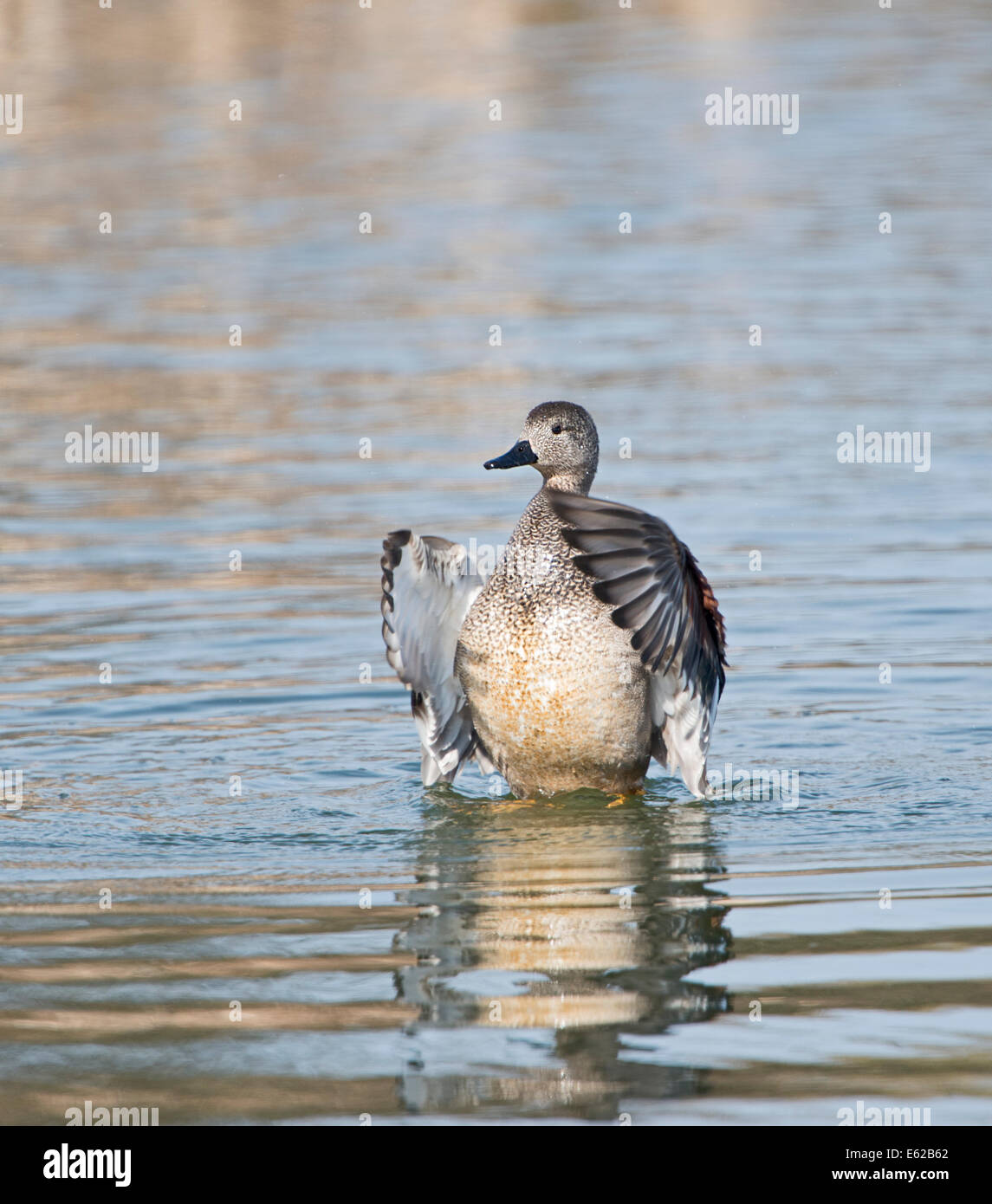 Gadwall Anas strepera male wing flapping Cley Norfolk - Stock Image