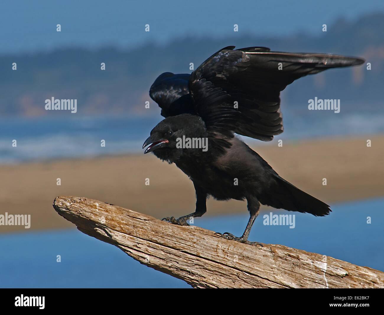 bird crow black animal raven nature wildlife - Stock Image