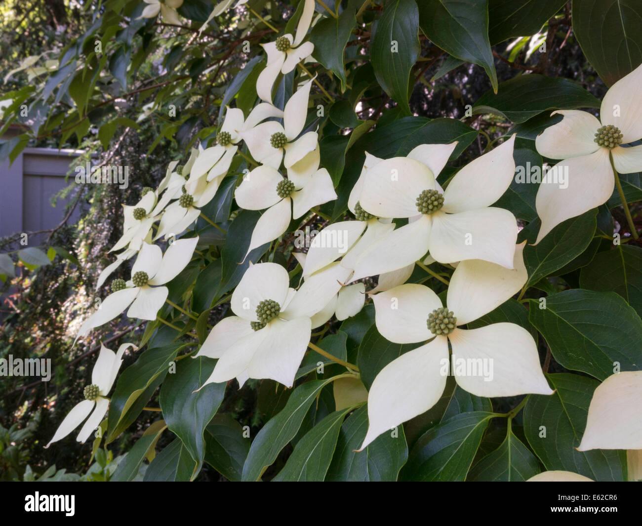 Blooming Dogwood Tree Stock Photo