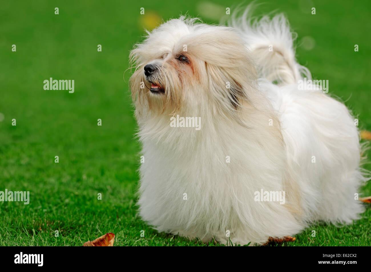 Coton de Tulear (Canis lupus familiaris) - Stock Image