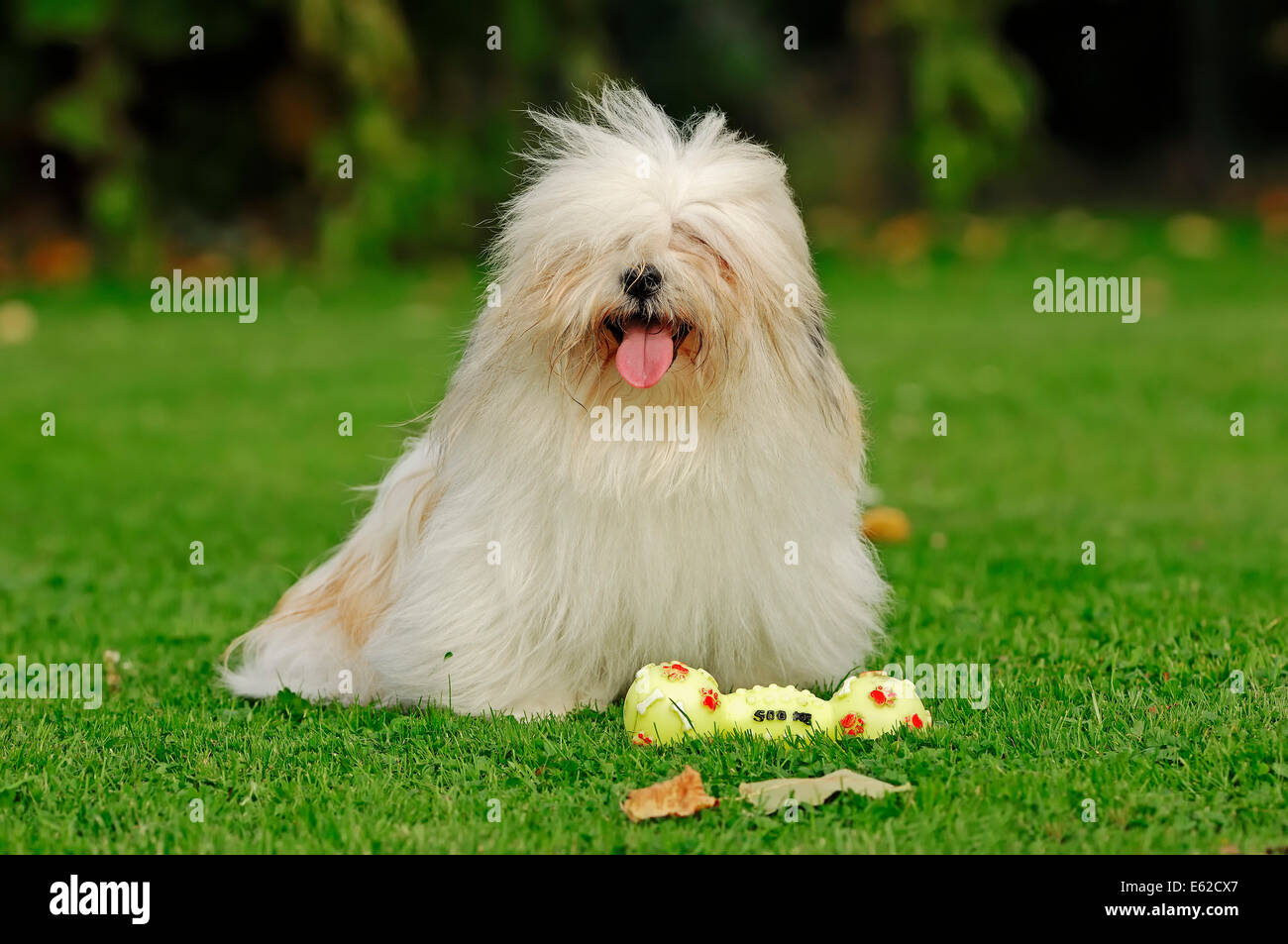 Coton de Tulear (Canis lupus familiaris) with toy Stock Photo