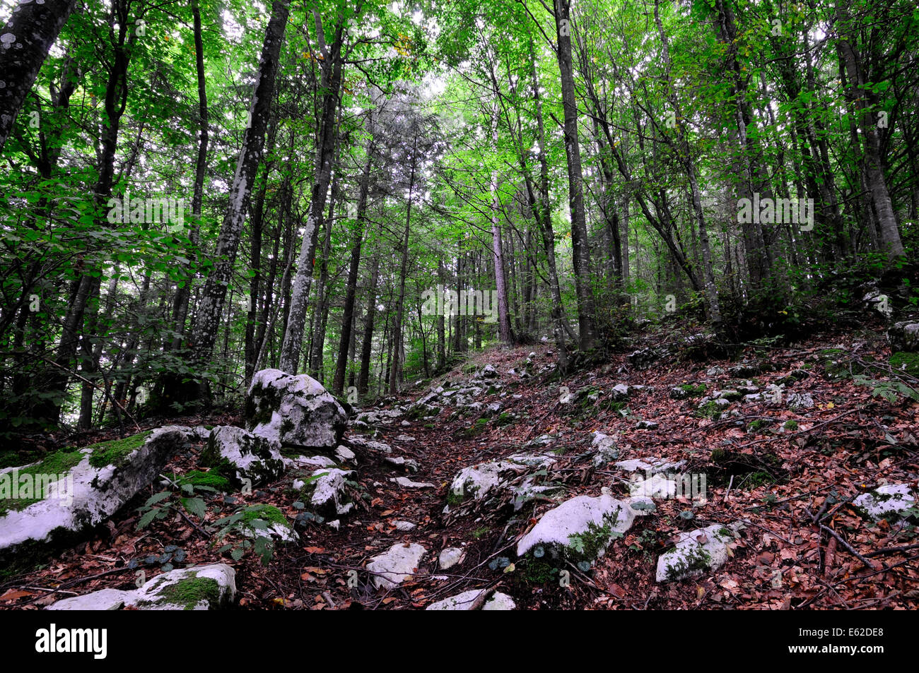 An old forest of firs - Stock Image