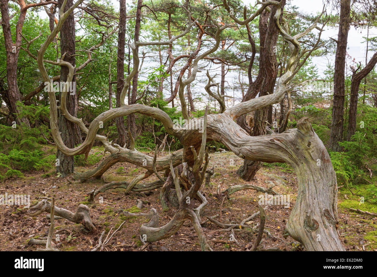 Old gnarled pine trees in a primeval forest - Stock Image